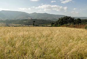 Tef in Ethiopia 01