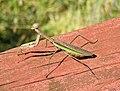 Tenodera sinensis (Chinese praying mantis) (Newark, Ohio, USA) 1 (31503867486).jpg