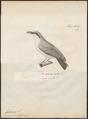 Tephrodornis gularis - 1700-1880 - Print - Iconographia Zoologica - Special Collections University of Amsterdam - UBA01 IZ16600445.tif
