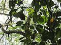 Terminalia bellirica (Bastard myrobalan) leaves in RDA, Bogra 01.jpg