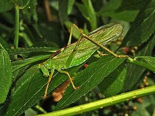 <i>Tettigonia viridissima</i> species of insect
