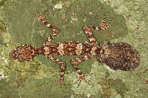 Description de l'image The Cape Melville Leaf-tailed Gecko (Saltuarius eximius). Photo by Conrad Hoskin.jpg.