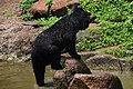 The Himalayan black bear (Ursus thibetanus) is a rare subspecies of the Asiatic black bear. 29.jpg