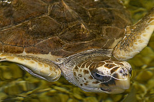 St. Vincent National Wildlife Refuge - Image: The Loggerhead Sea Turtle By Carole Robertson