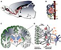 The anatomy of the neurogenic subventricular zone in the adult rodent and human brain.jpg