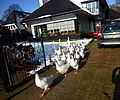 The geese from the pont visiting.JPG
