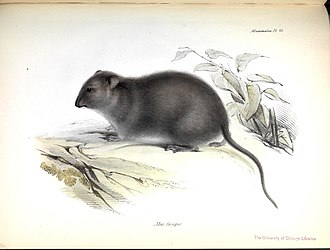Bush rat - Illustration accompanying the first description