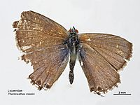 Theclinesthes miskini dorsal.jpg
