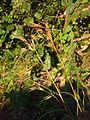 Themeda triandra var. japonica.JPG