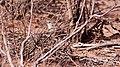 Thick-billed Grasswren.jpg