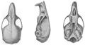 Thomasomys monochromos skull Bangs.png