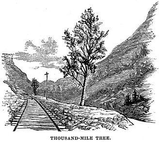 Thousand Mile Tree - Griggs Engraving (1878)