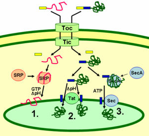 Thylakoid - Schematic representation of thylakoid protein targeting pathways.