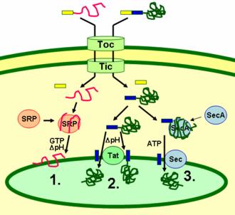 Thylakoid - Schematic representation of thylakoid protein targeting pathways.