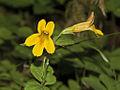 Tiling's Monkeyflower, Mimulus tilingii.jpg