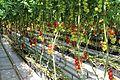 Tomato ARM 01.jpg