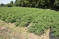Tomato field in Namegata, Ibaraki 01.jpg