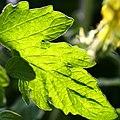 Tomato leaf.jpg