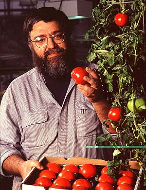 Genetically modified tomato - Plant physiologist Athanasios Theologis with tomatoes that contain the bioengineered ACC synthase gene