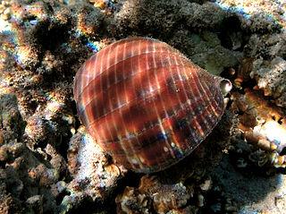 <i>Tonna canaliculata</i> Species of gastropod