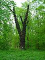 Topola czarna w parku Zamkowym w Raciborzu 3.JPG
