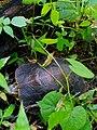 Tortuga.Guayameo, Gro.jpg