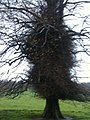 Tree at Nostell Priory.JPG