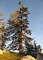 Tree in Early morning light (2980416622).jpg