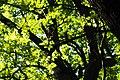 Treecrown- P5185837.jpg