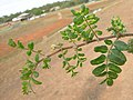 Tribulus terrestris leaf3 (16377486352).jpg