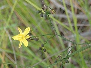 <i>Tricoryne elatior</i> Species of plant