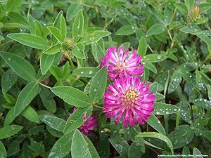 English: Red Clover (Trifolium pratense) Русск...