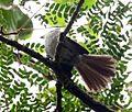 Trochocercus cyanomelas, Krantzkloof, b.jpg