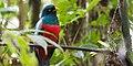 Trogon clathratus -Costa Rica-8.jpg