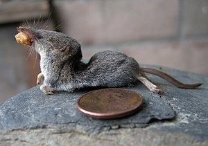 Trowbridge's Shrew (Sorex trowbridgii) observed by bob-dodge.JPG