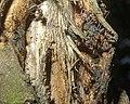Tuberolachnus in bark crevice c2014-08-30 12-02-02ew.jpg