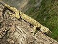 Tucktoo Gekko gecko.JPG