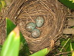 Turdus leucomelas nest with eggs.jpg