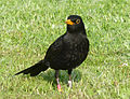 Turdus merula, Common Blackbird, Amsel.JPG