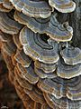 Turkey Tail - Flickr - pellaea.jpg
