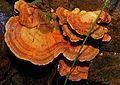 Turkey tail mushroom (8468623029).jpg
