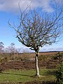 Twisted thorn tree on Broomy Plain, New Forest - geograph.org.uk - 335909.jpg