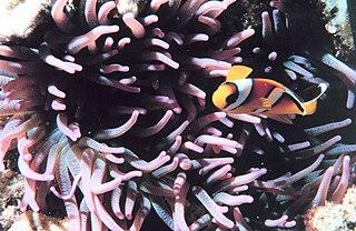Sebae anemone