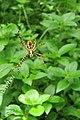 Unidentified Argiope - Signature spider at Peravoor (5).jpg