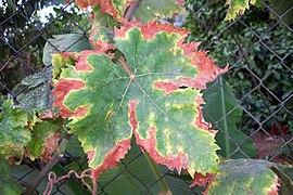 File:Unidentified Vitis vinifera disease (002).jpg