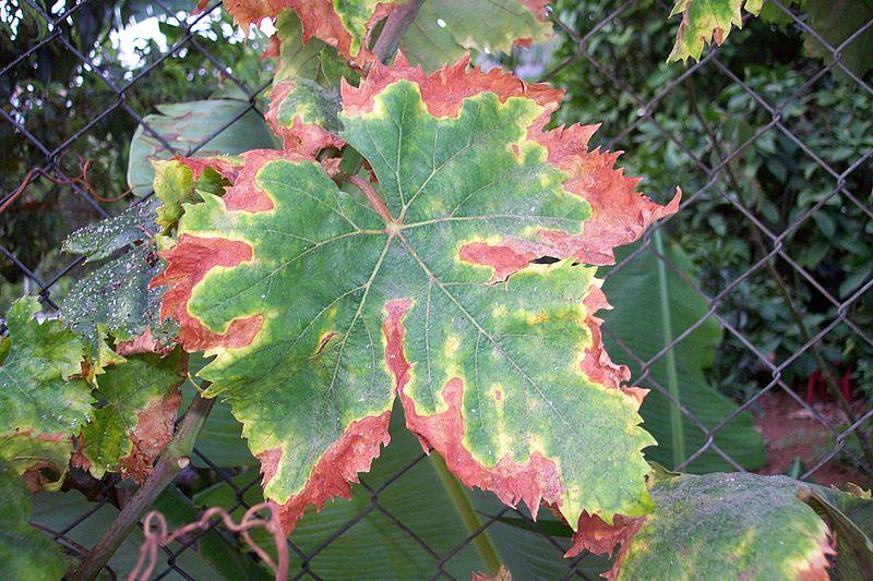 800px-Unidentified_Vitis_vinifera_disease_%28002%29.jpg