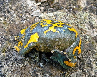 Unkenreflex - The underside of a yellow-bellied toad