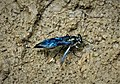 Unknown Wasp collecting mud from side of stream (42876712361).jpg