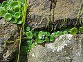 Unknown plant - Flickr - pellaea.jpg