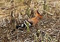 Upupa africana hellsgate 5.jpg